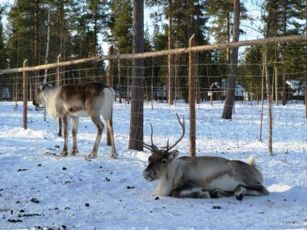 フィンランド 野生のトナカイ オーロラビレッジ